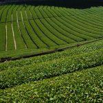 [まとめ]お茶が好きならマイ茶畑ほしいでしょ?お茶のオーナー制度をやってるところ8カ所ピックアップ!